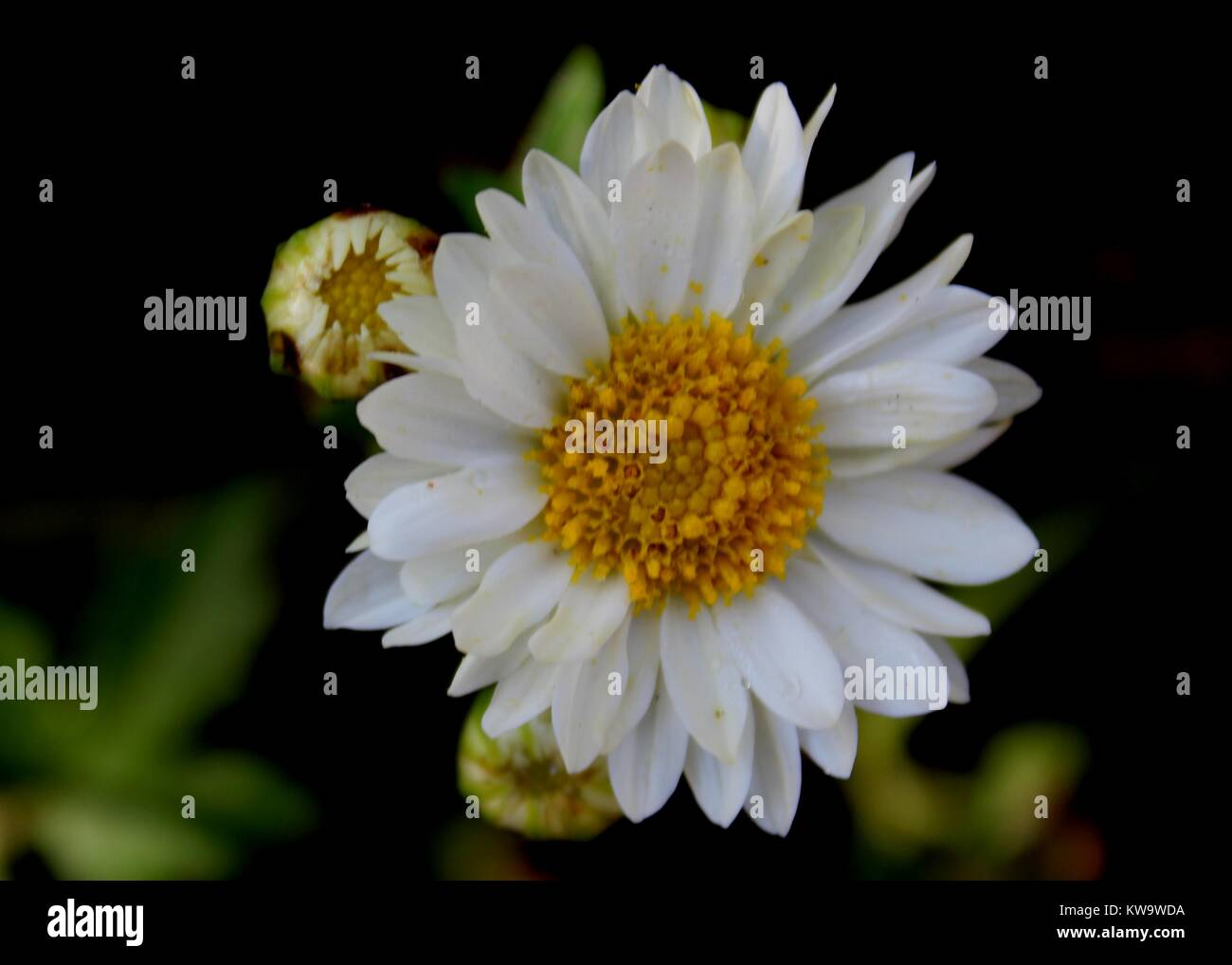 Macro Close Up View Of White Color Daisy Flower Petals In A