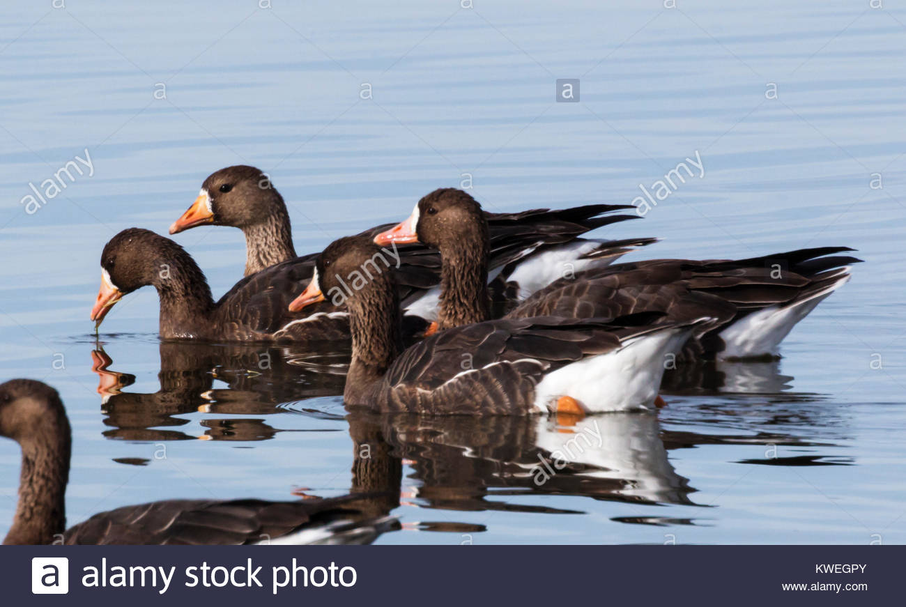 greater-white-fronted-geese-anser-albifrons-swimming-on-pond-in-arizona-KWEGPY.jpg