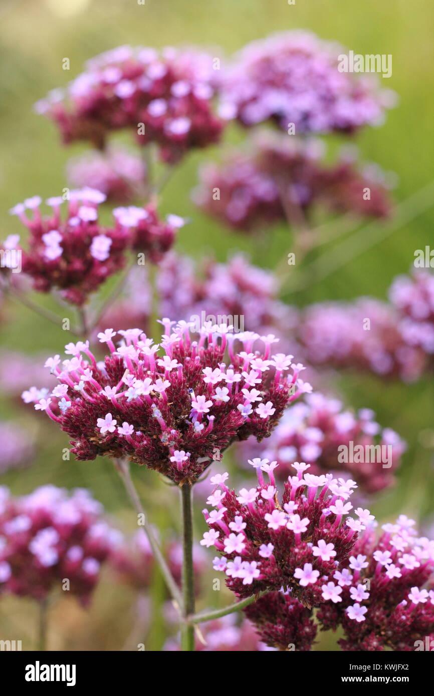 Verbena Bonariensis A Popular Architectural Perennial Flowers In A