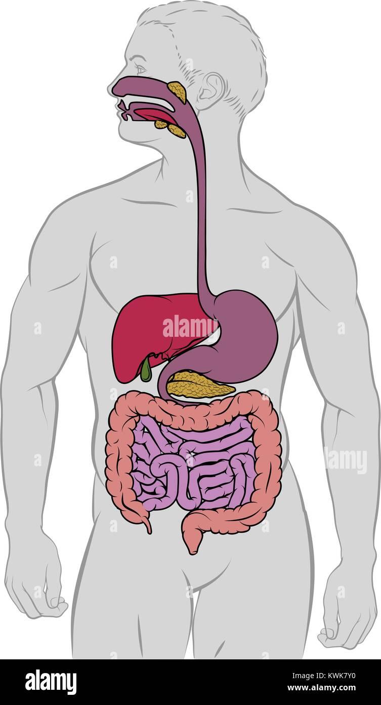 Gastrointestinal Digestive Tract Anatomy Diagram Stock Vector Art