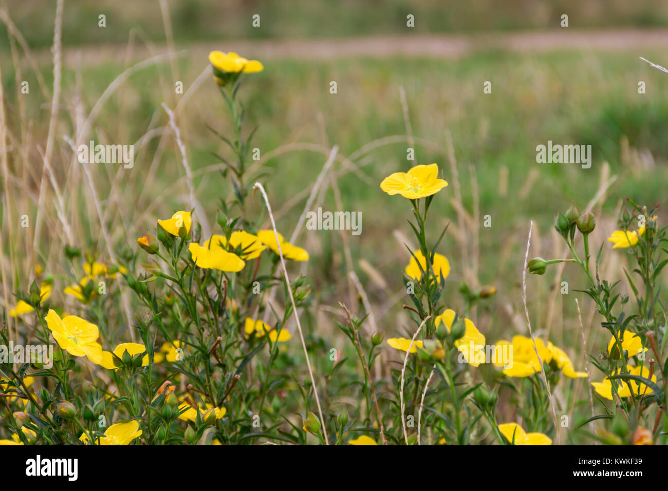 Wild Yellow Flowers Bloom In Spring On The Green Grass Of The Field