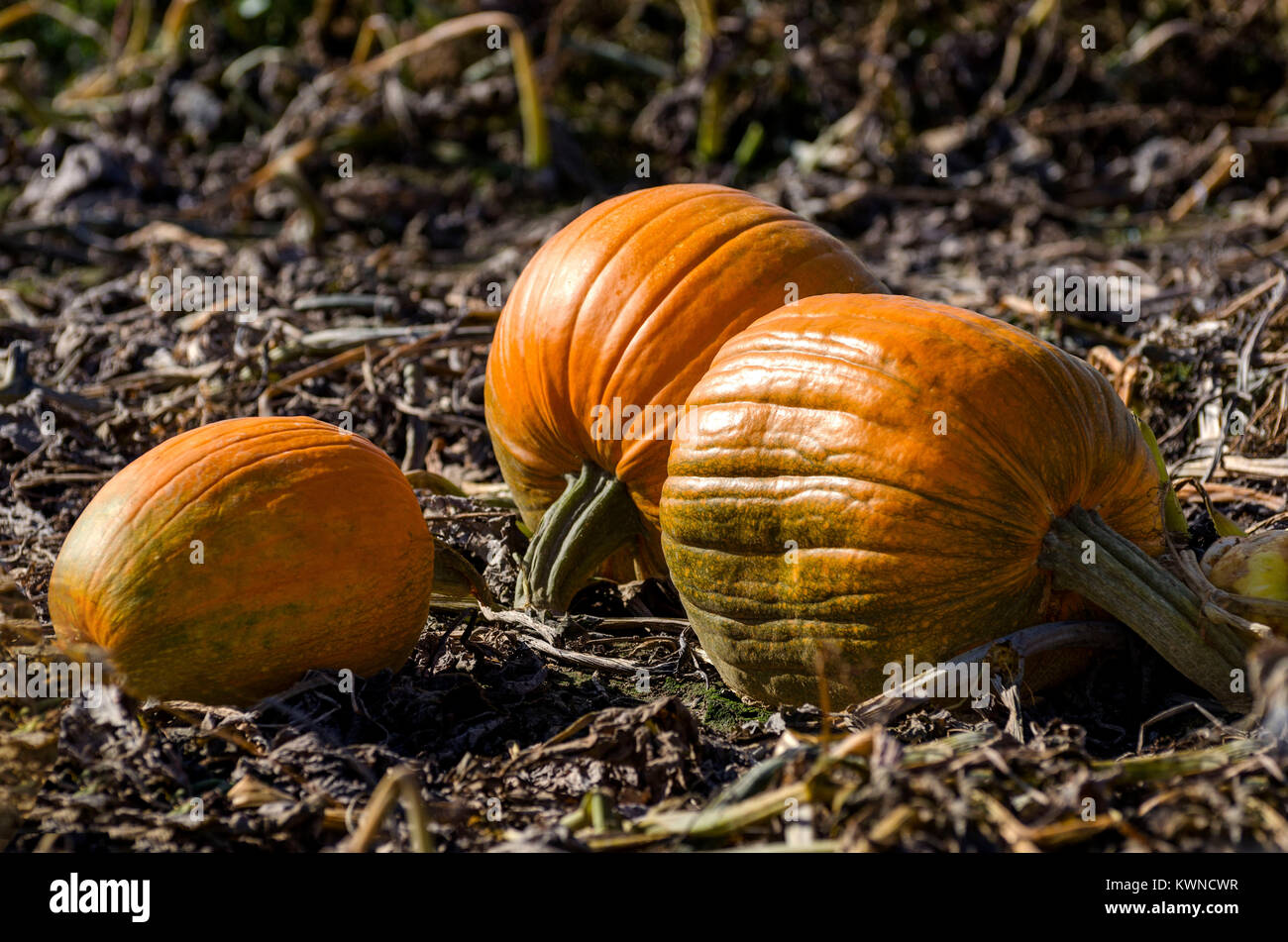 how to tell ripe pumpkin