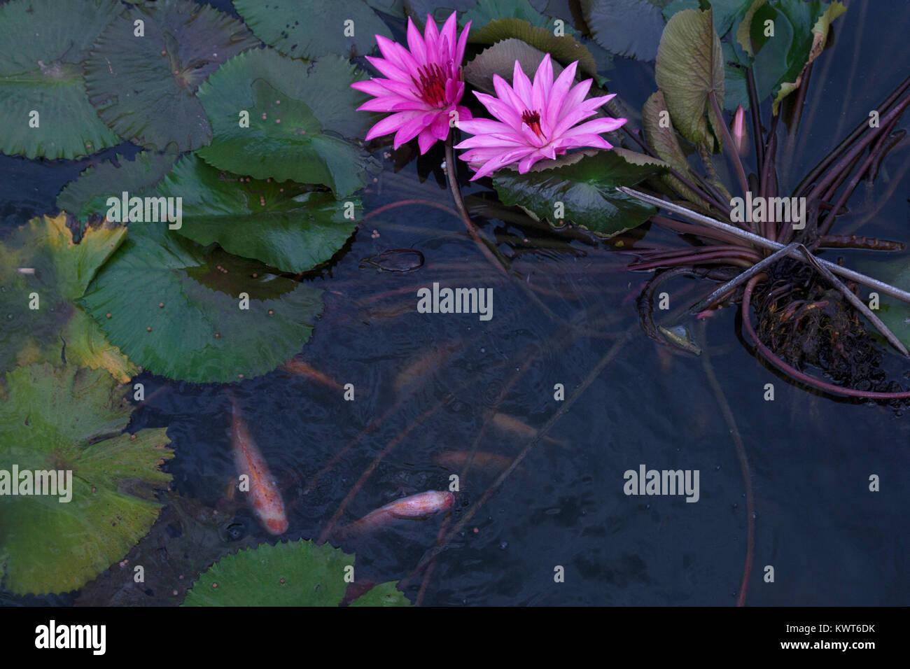 Goldfish In The Pond Lotus Flower Stock Photo 170791647 Alamy