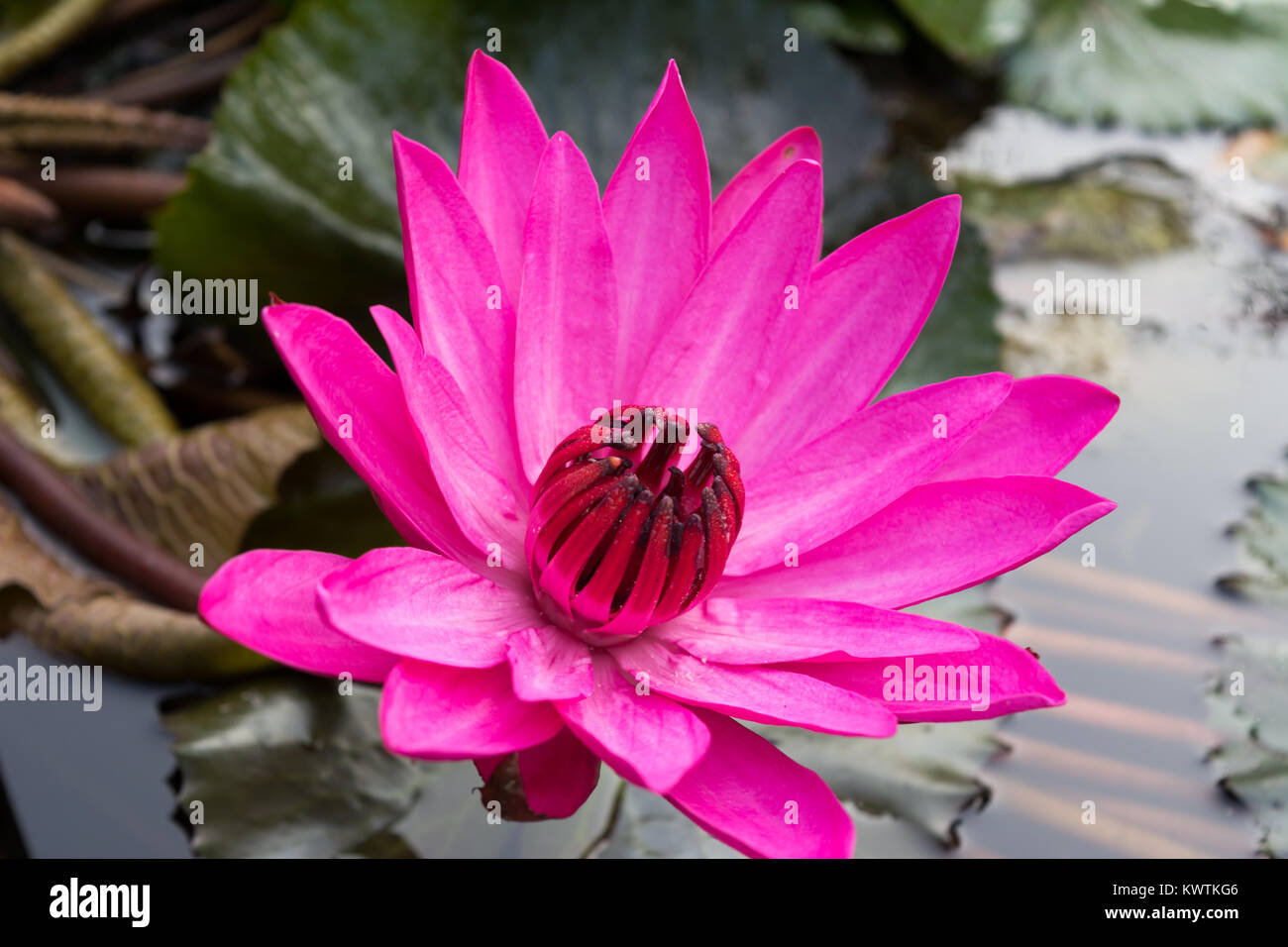 Closeup Lotus Flower On Water With Leaves In Garden Park Pond Stock