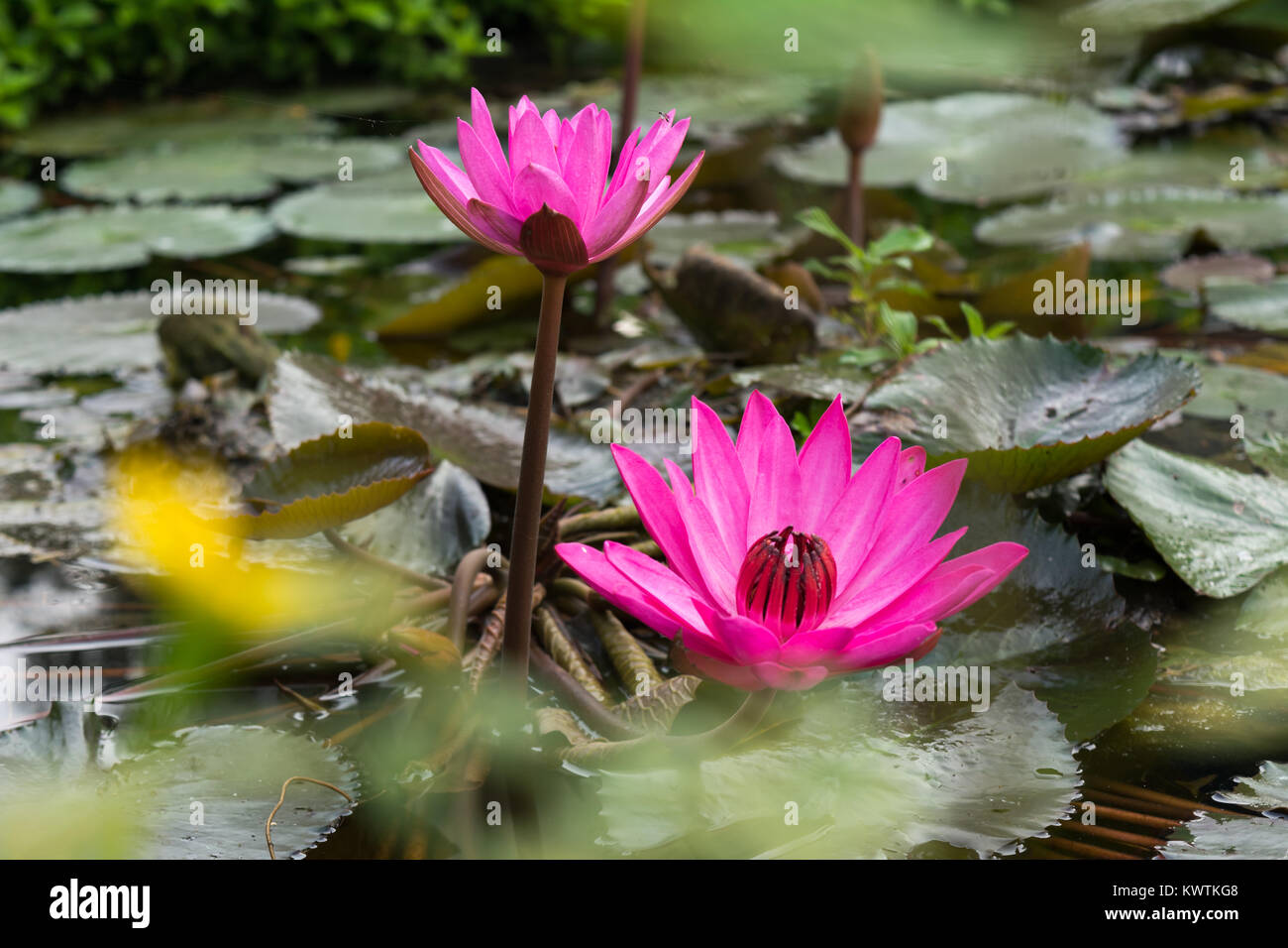 Two Lotus Flowers On Water With Leaves In Garden Park Pond Stock