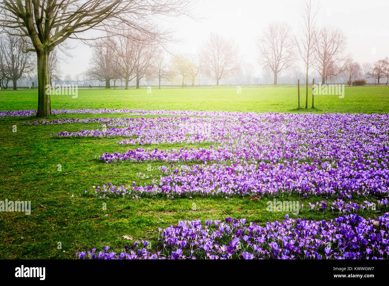Spring Green Park City Park With Blooming Crocus Flowers Fresh