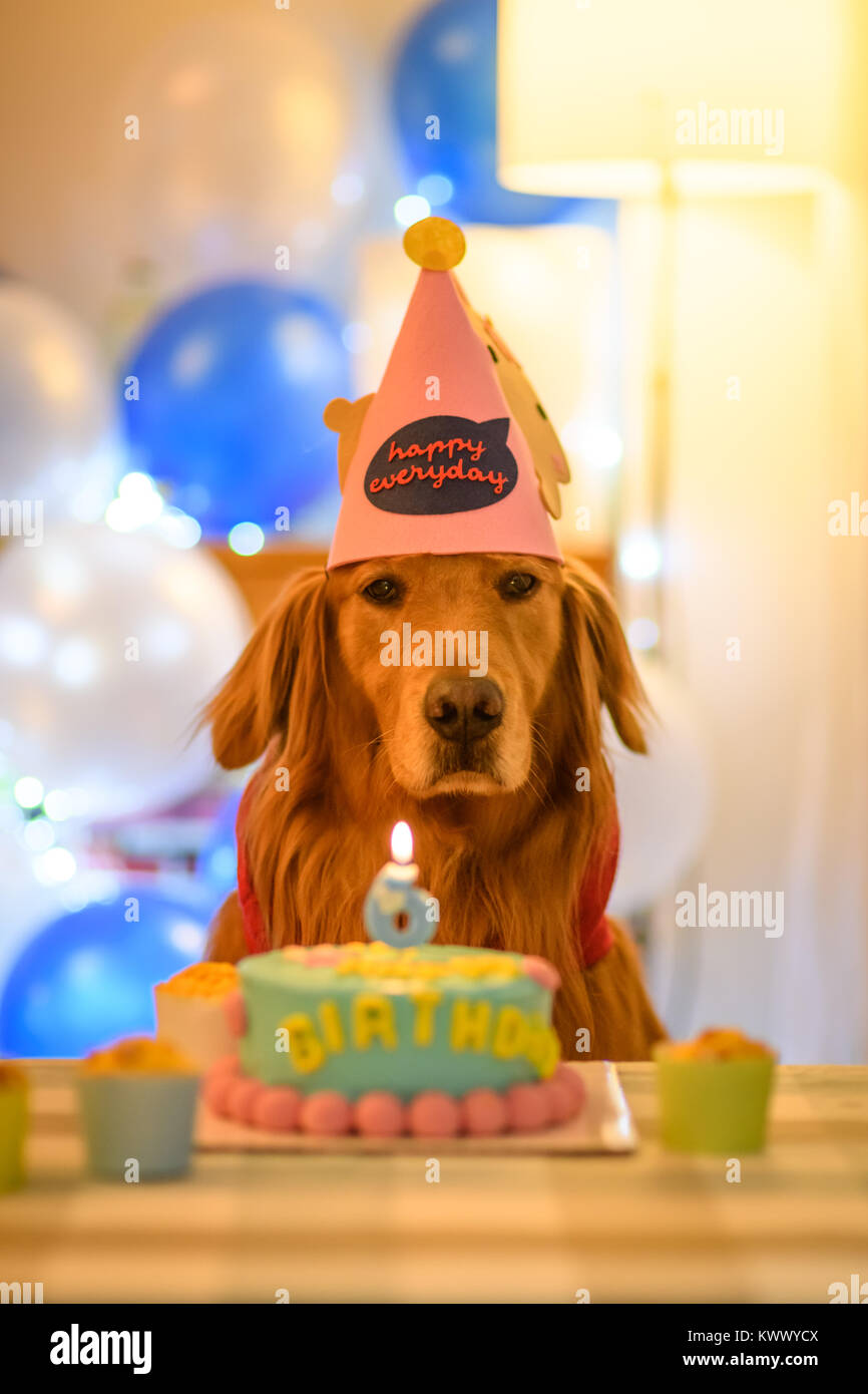 Golden Retriever And Birthday Cake Stock Photo 170830042 Alamy