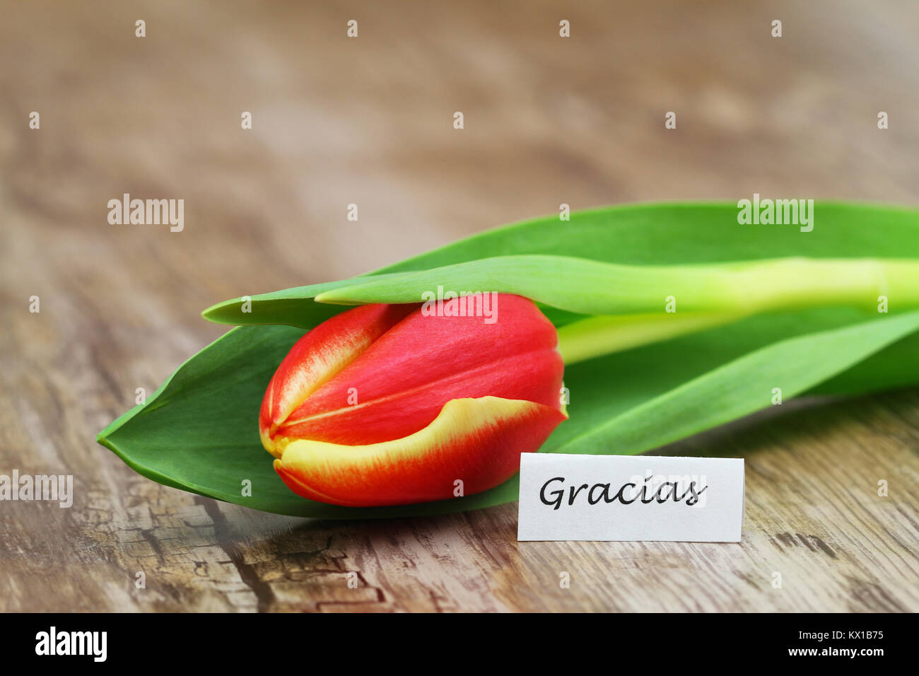 Gracias thank you in spanish with one red and yellow tulip stock gracias thank you in spanish with one red and yellow tulip izmirmasajfo Image collections