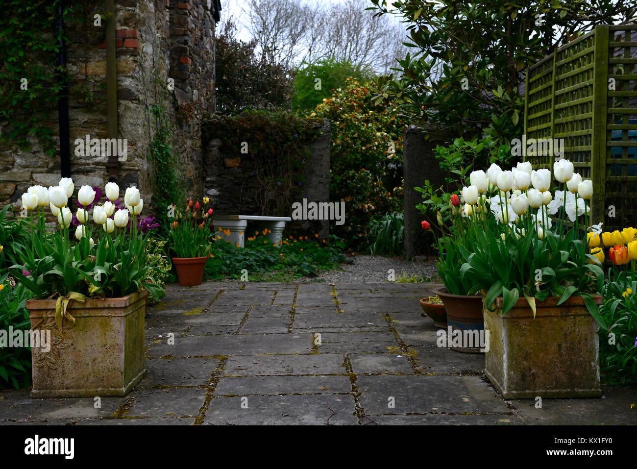Tulipa Angels Wishtuliptulips Stock Photo 170908836 Alamy