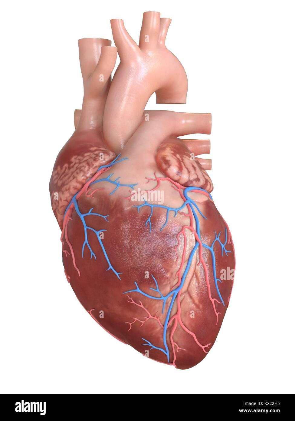 Human Heart With Coronary Veins Illustration Stock Photo 170920321