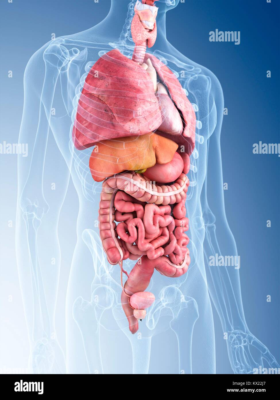 Human Internal Organs Illustration Stock Photo 170920351 Alamy