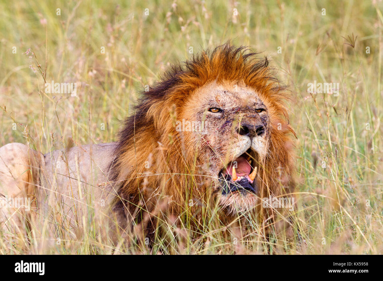 Lion Roar Mane Stock Photos & Lion Roar Mane Stock Images ... - photo#16