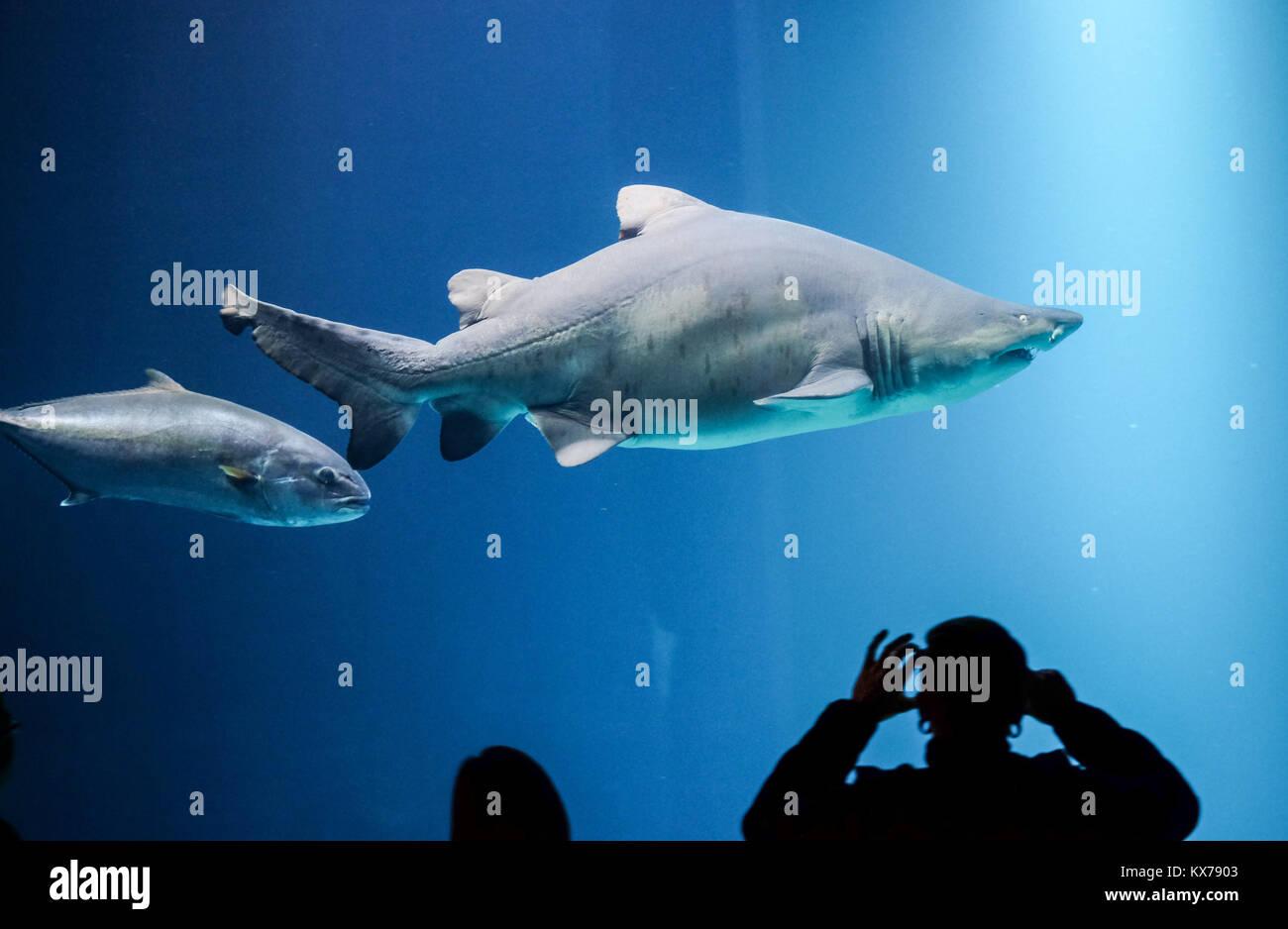 A Sand Tiger Shark Swims In The Aquarium Offener Atlantik Lit