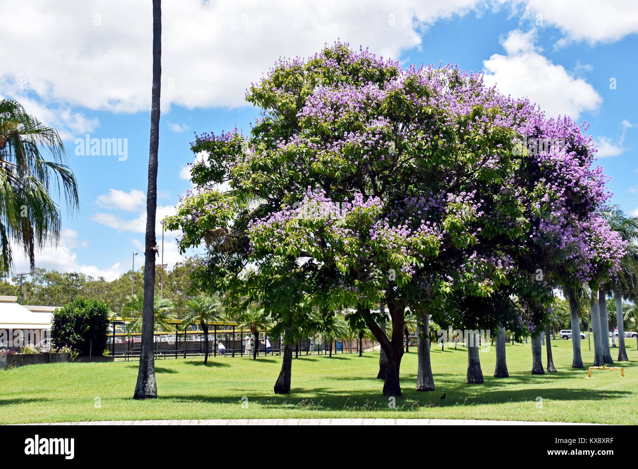 AVENUE OF PINK Crepe myrtle trees Stock Photo: 171071027 - Alamy