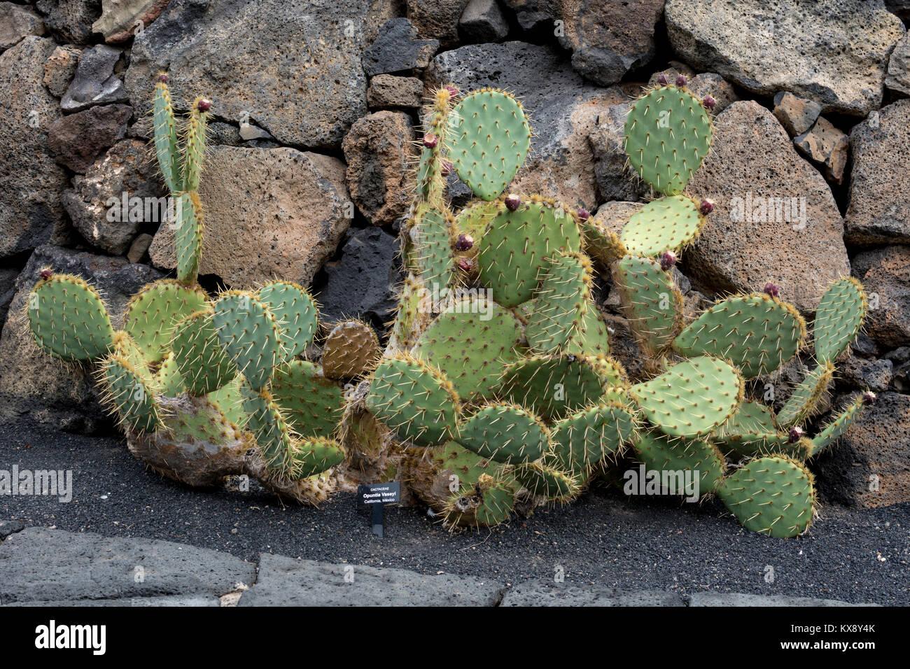 Cactus family cactaceae stock photos cactus family for Jardines con cactus