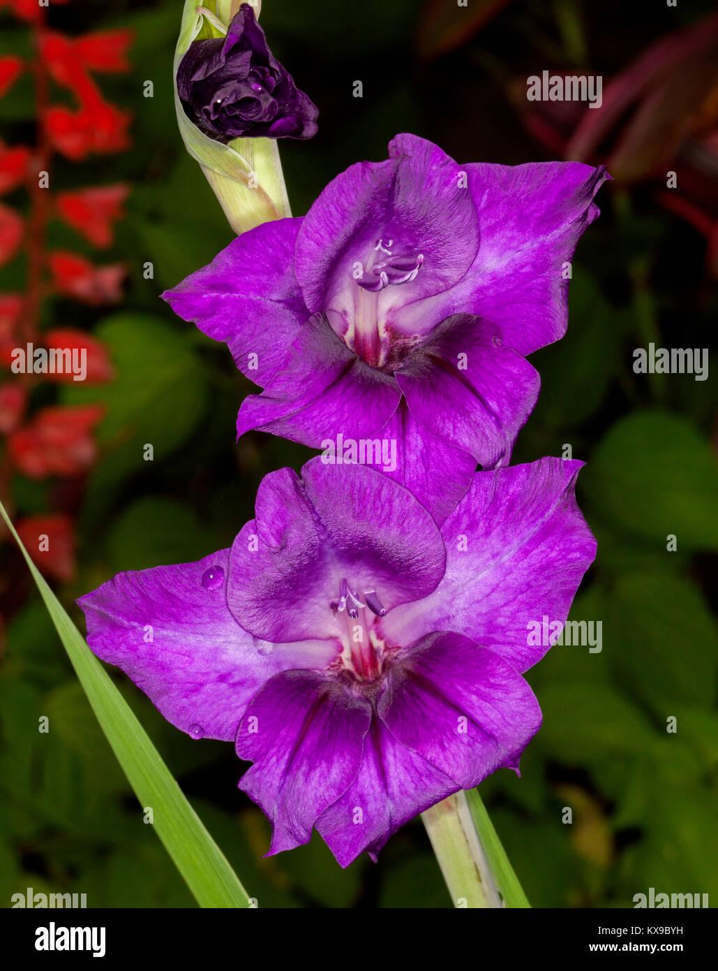 Stunning Vivid Deep Purple Flowers Of Gladiolus A Flowering Bulb