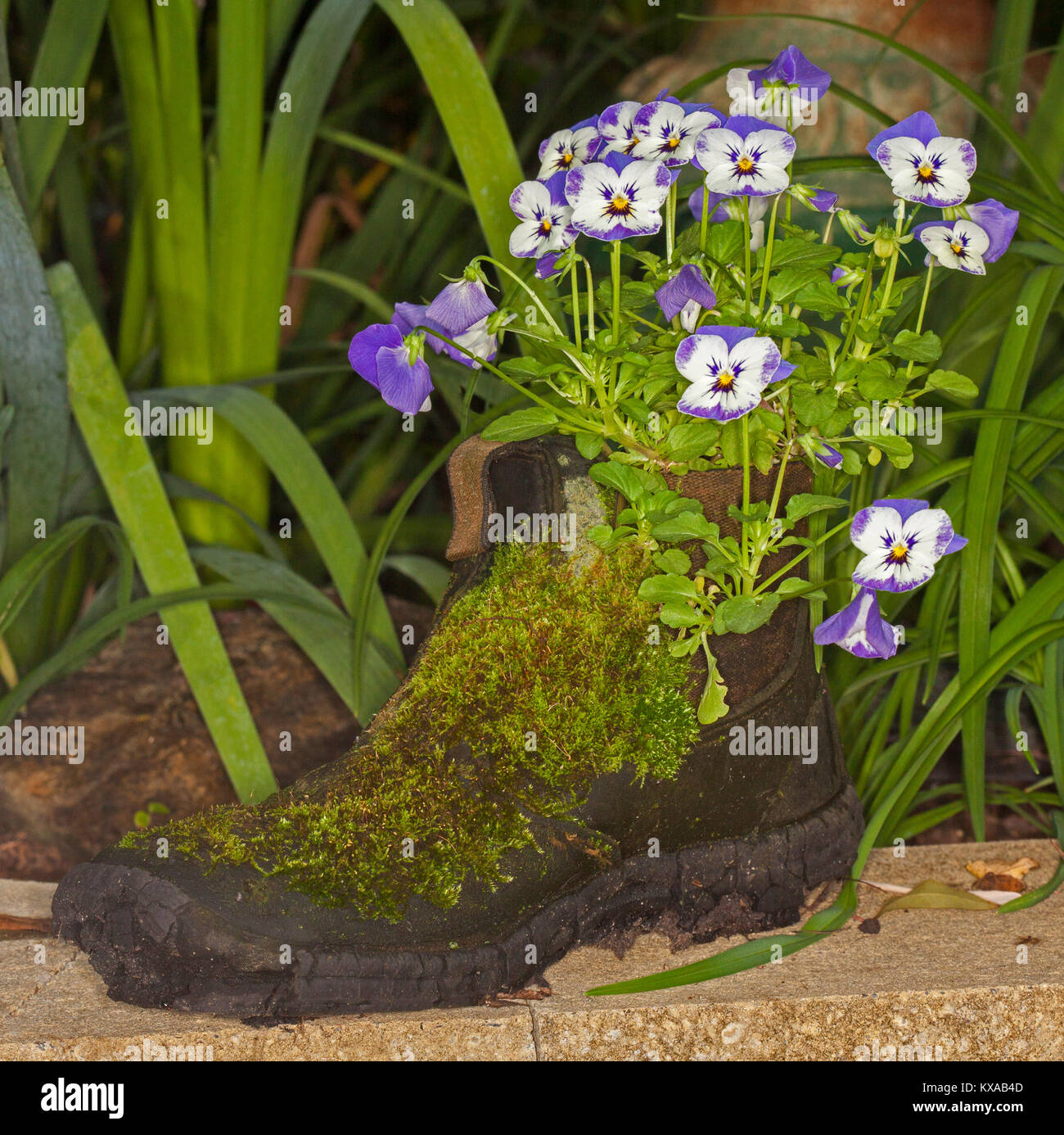 Container gardening with cluster of mauve and white flowers of stock container gardening with cluster of mauve and white flowers of pansies growing in old recycled boot with coating of green moss mightylinksfo
