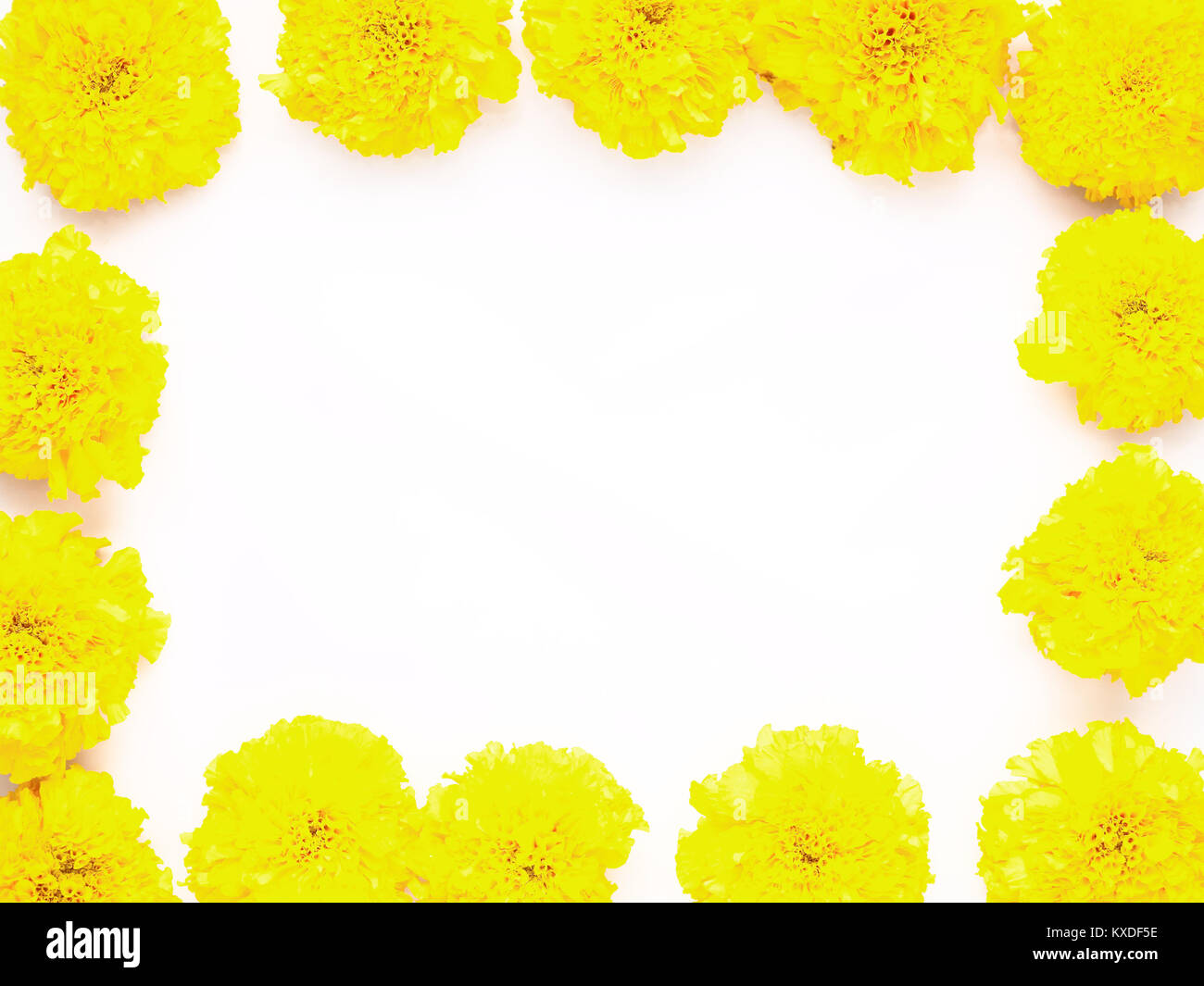 Yellow marigold flower isolated on white background use to worship yellow marigold flower isolated on white background use to worship wisdom god in indian culture by hindus or can be used as health product mightylinksfo