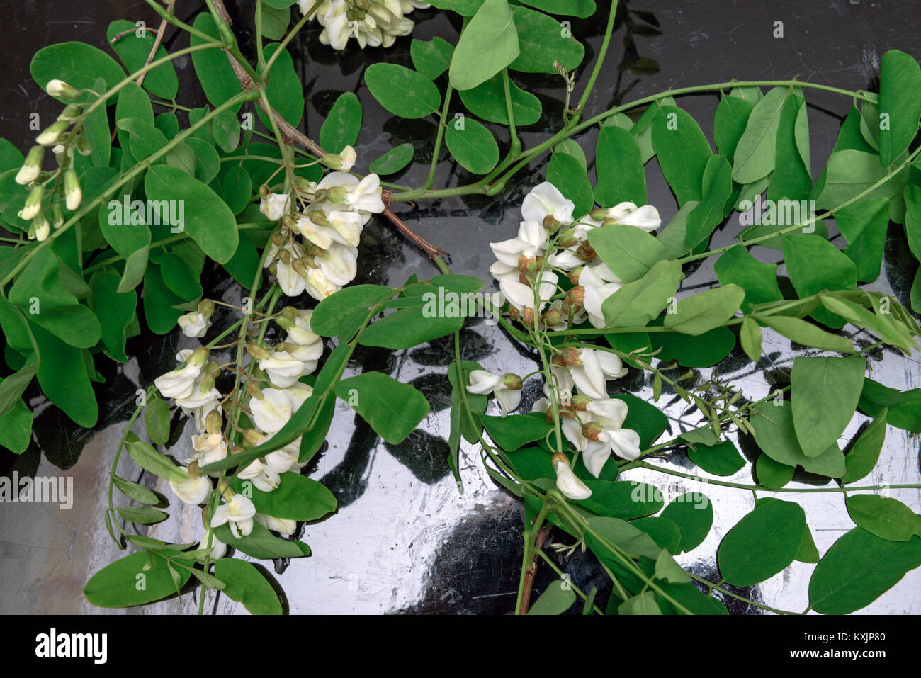 Few bright white flower clusters with green leaves of black locust few bright white flower clusters with green leaves of black locust robinia pseudoacacia are lying on the black plate mightylinksfo