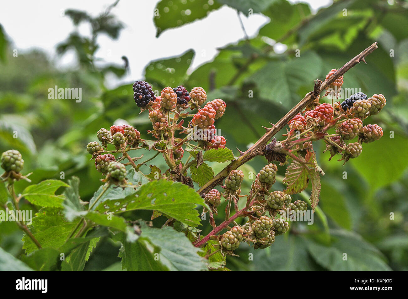 raspberry bush with various stages of growth and color stock photo