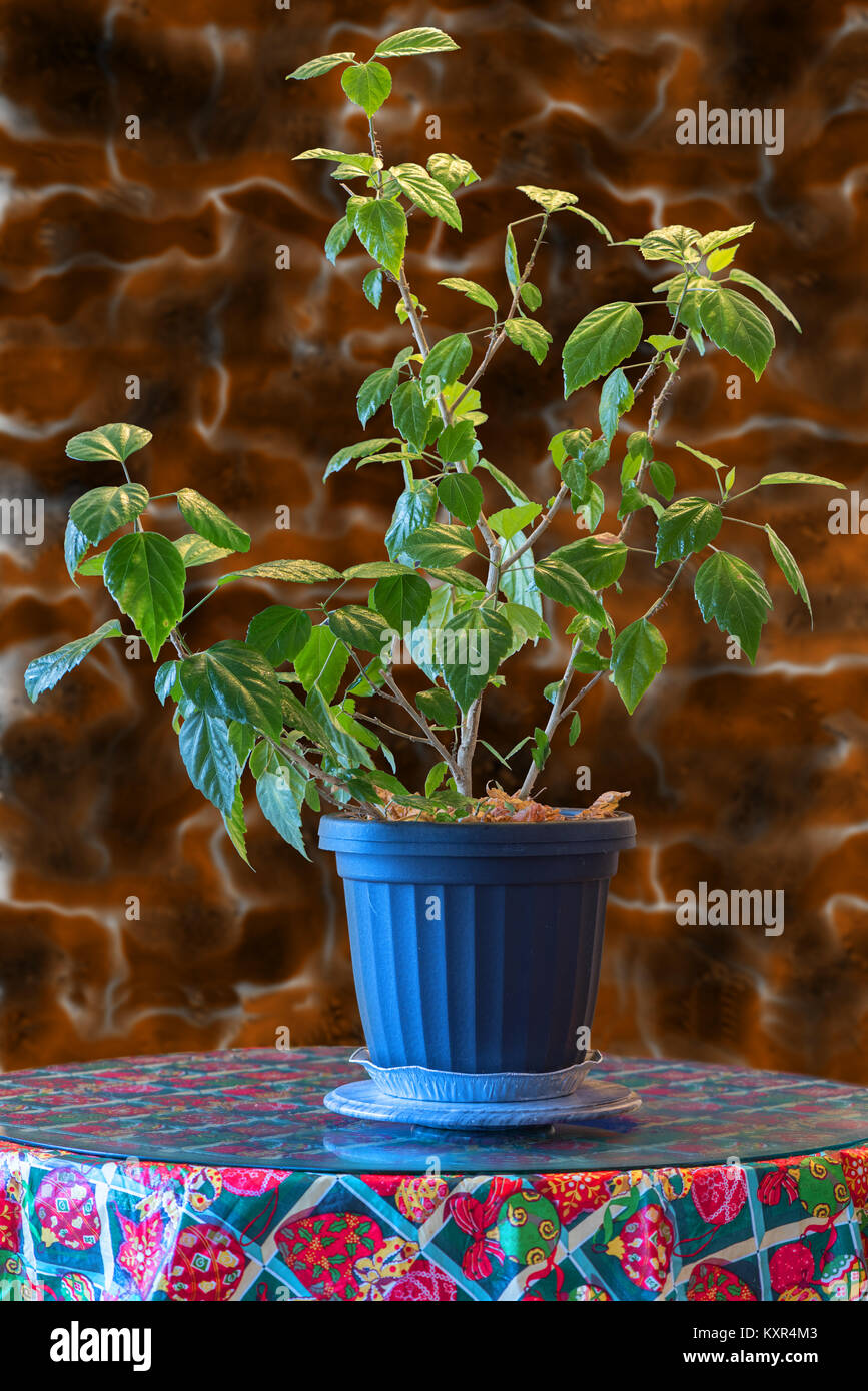 Houseplant with green leaves Hibiscus in a gray flowerpot on a table on red and green ground cover, red and green ornamental grass, red and green leaf plant,