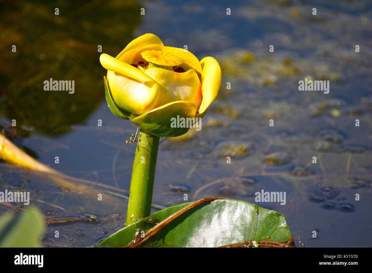 Lily Pads And Flower On Lake Terrell In Ferndale Washington Usa