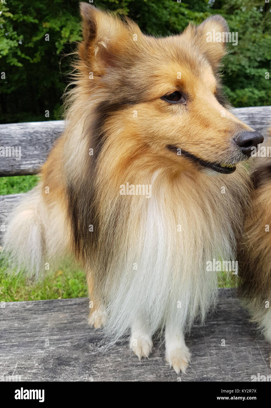 sheltie shetland sheepdog mini collie stock photo 171551182 alamy