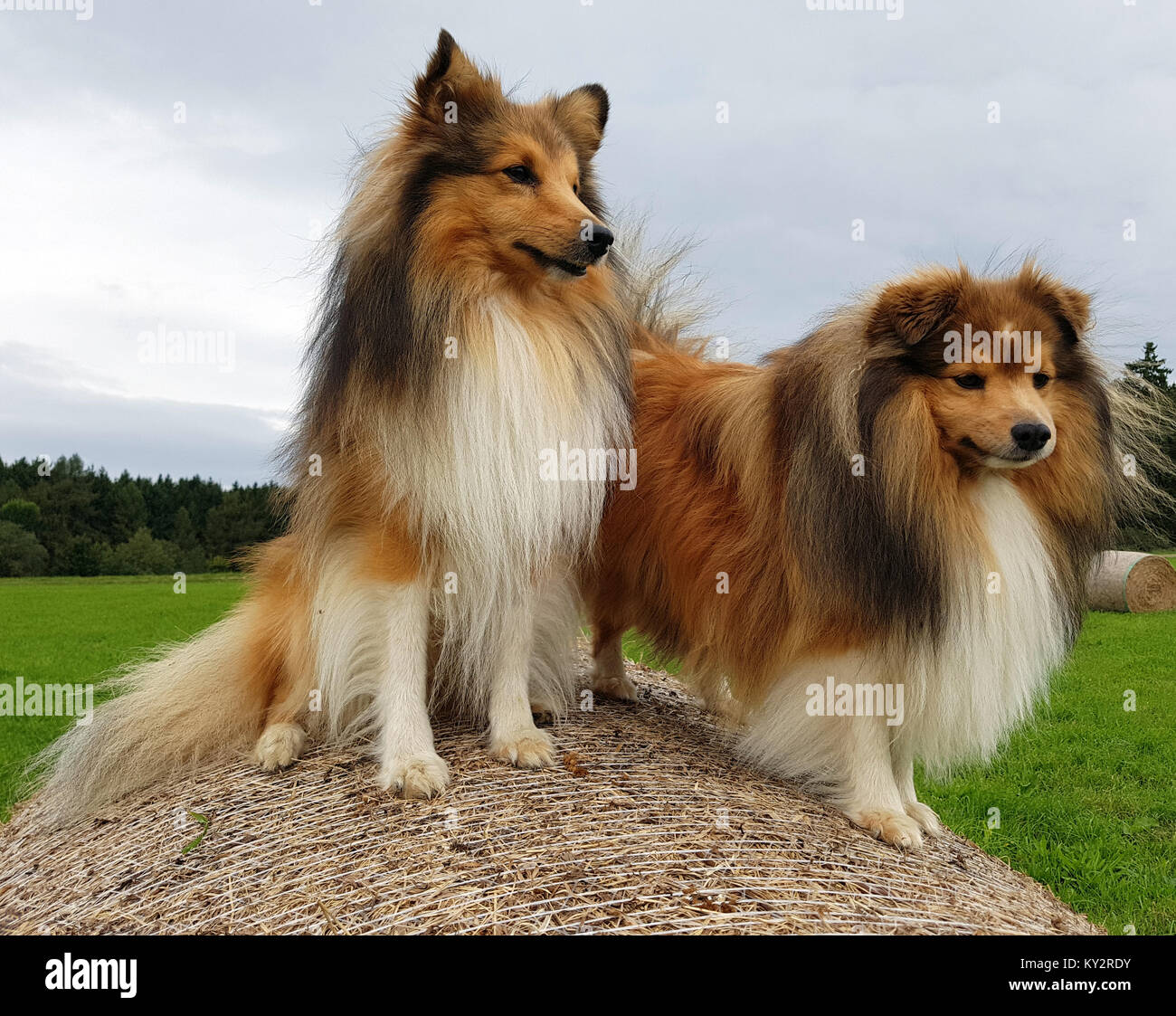 sheltie shetland sheepdog mini collie stock photo 171551351 alamy