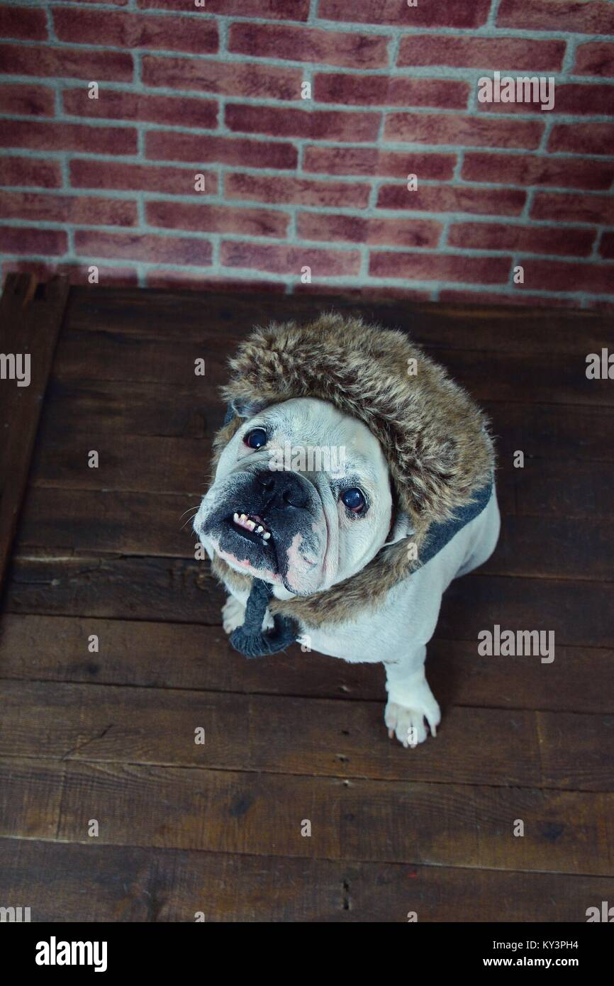 Portrait of french bulldog with a winter hat Stock Photo  171572608 ... 56b33c30325