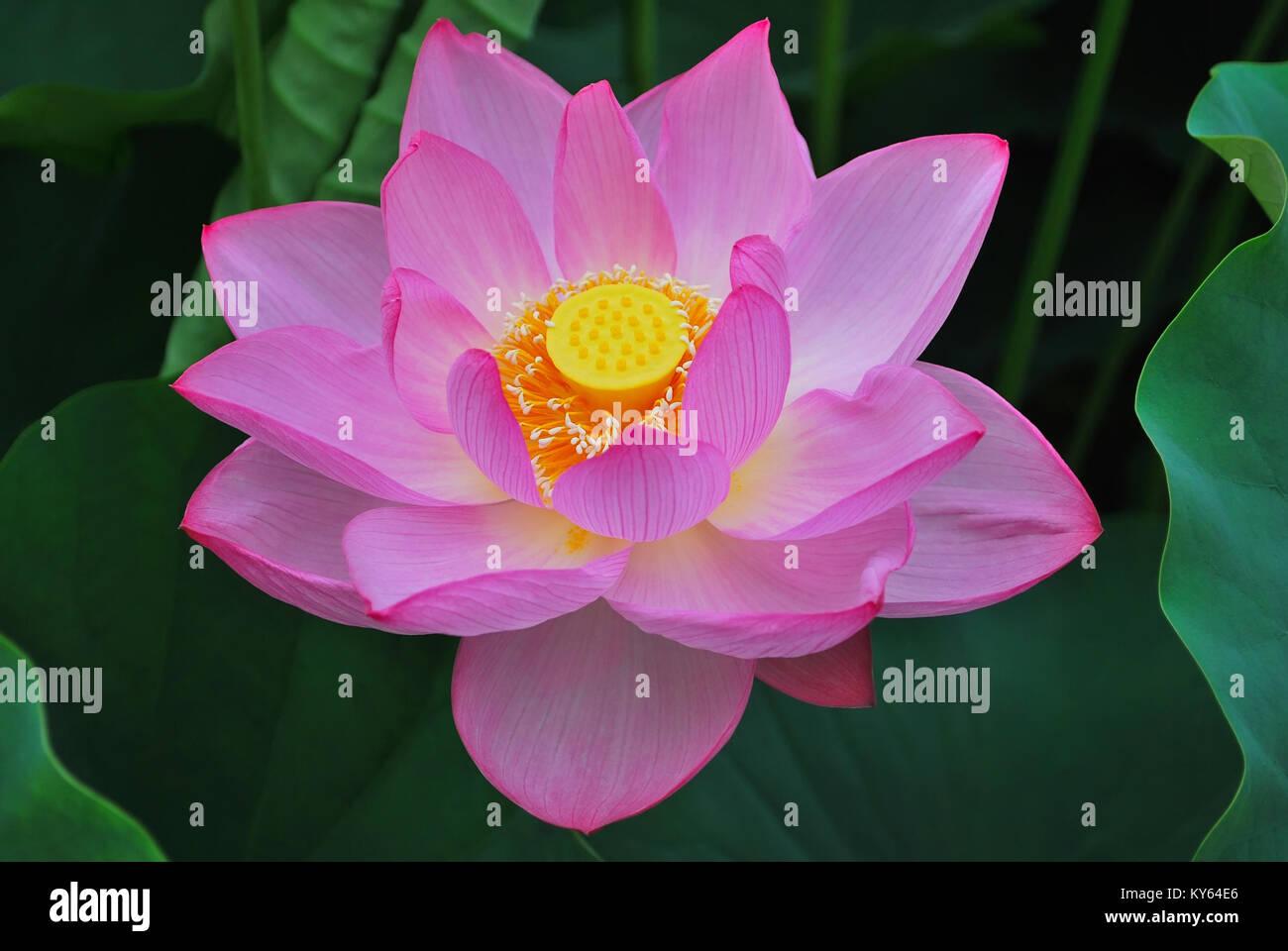 Lotus Flower In Full Bloom Symbolizing Religion Buddhism Purity