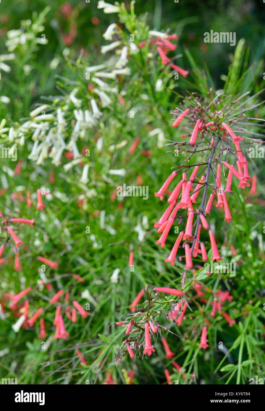 Firecracker Plant With Red And White Small Trumpet Like Flowers