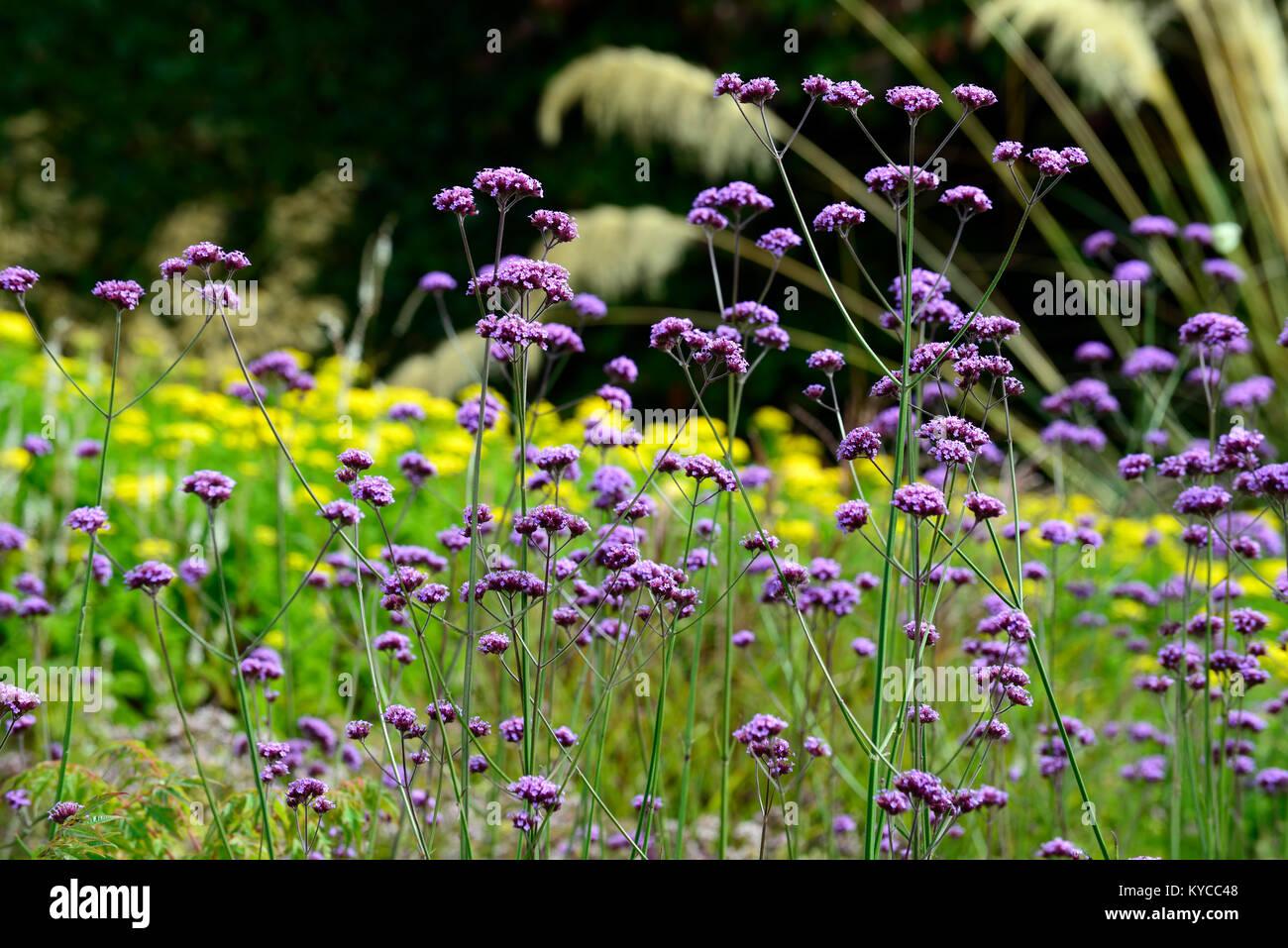 Verbena Bonariensistall Perennial Purple Flower Flowers Mixed