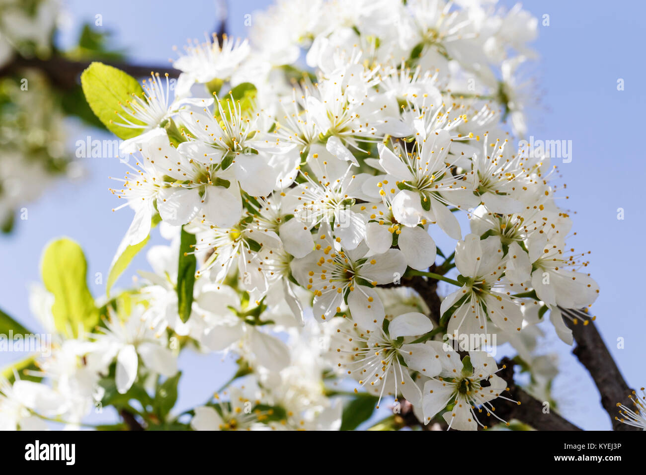 Spring Flowers Series Close Up Of A Cherry Plum Tree Against The