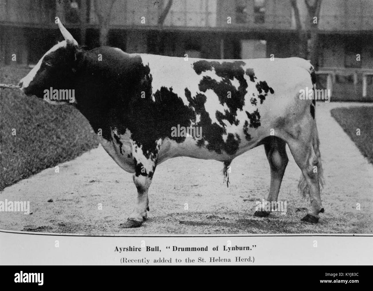 Ayrshire Bull