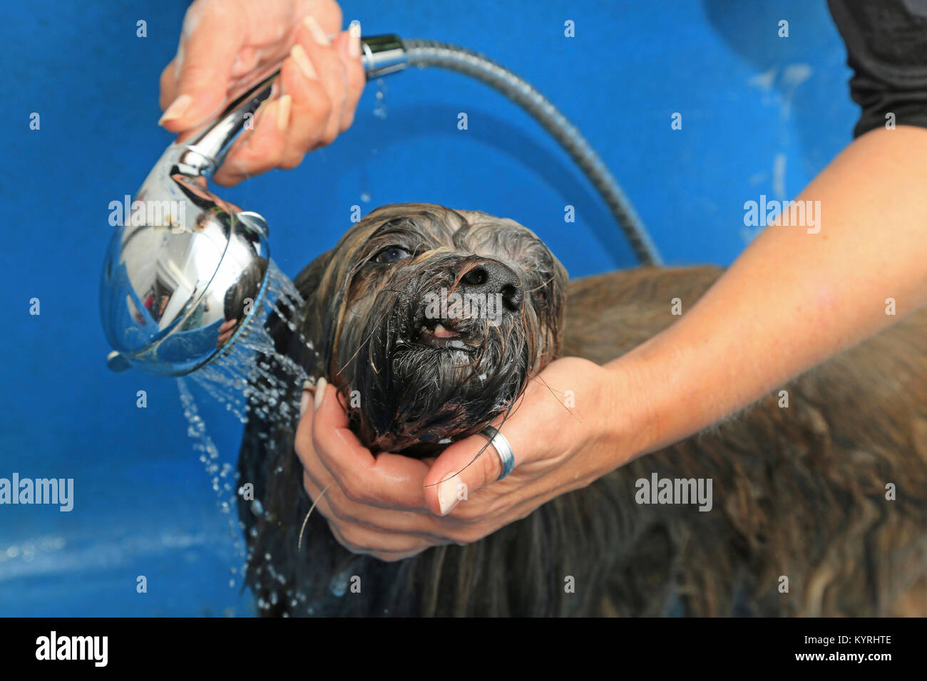 Lhasa Apso At Dog Groomer Spraying With Hand Held Shower Head Stock