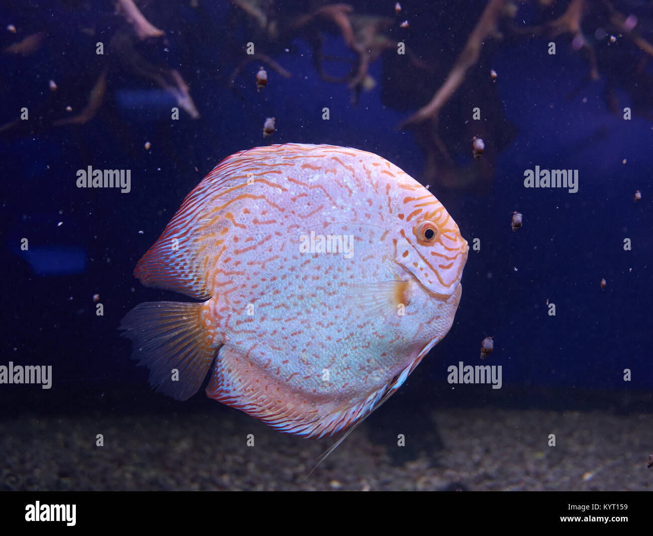 Symphysodon Or Discus Fish From Amazon River In Aquarium Stock Photo