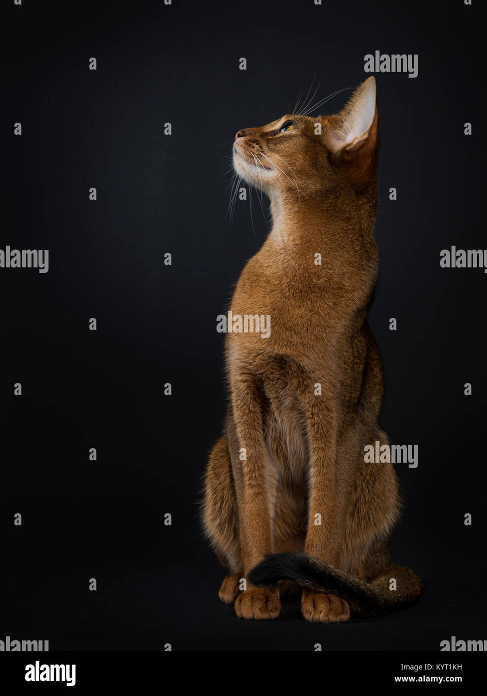 Abyssinian Cat Sitting Stock Photos & Abyssinian Cat Sitting Stock ...