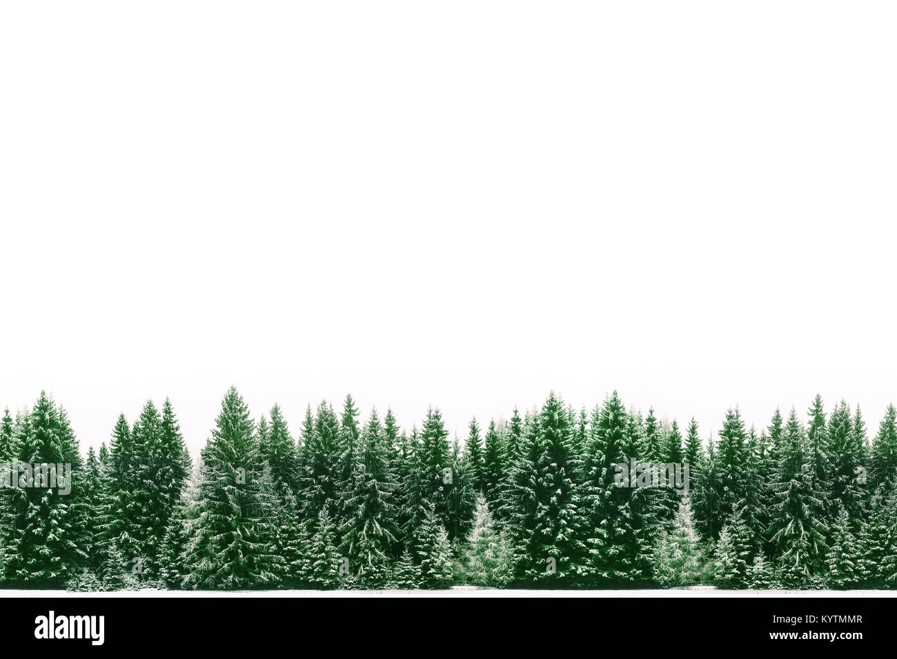 border frame of green spruce pine trees forest covered by fresh snow during winter christmas time and new year with large empty white blank space for