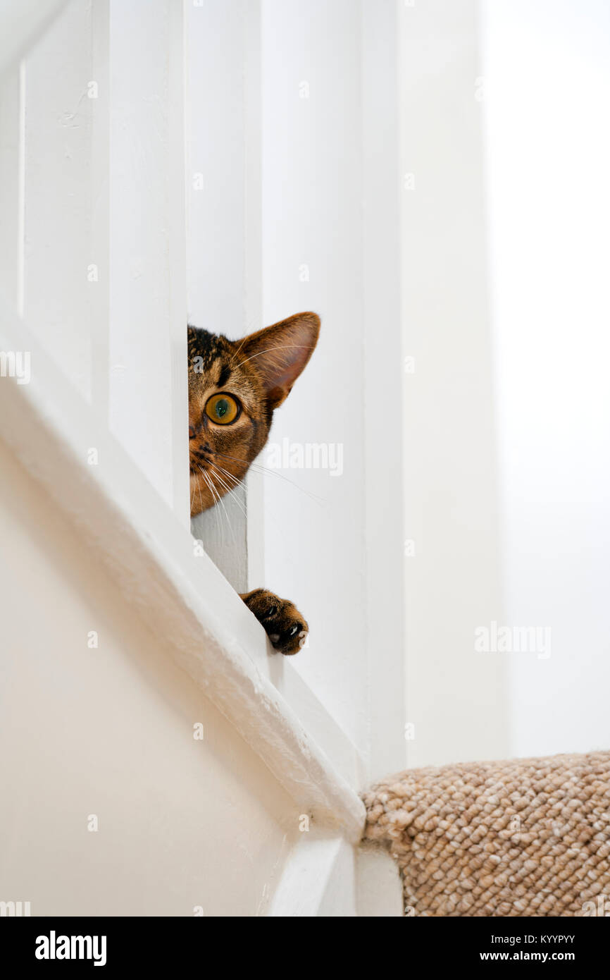 Cute playful wide-eyed part Abyssinian young male cat peers ...