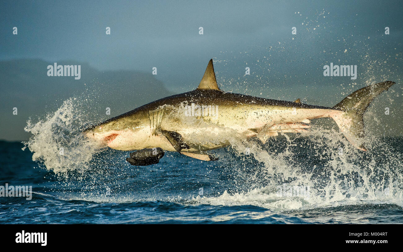Great white shark fishing stock photos great white shark for Great white shark fishing