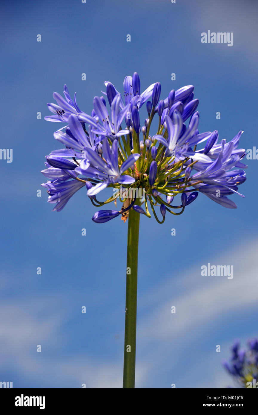 Single Blue Agapanthus Flower Lily Of The Nile In A Garden In