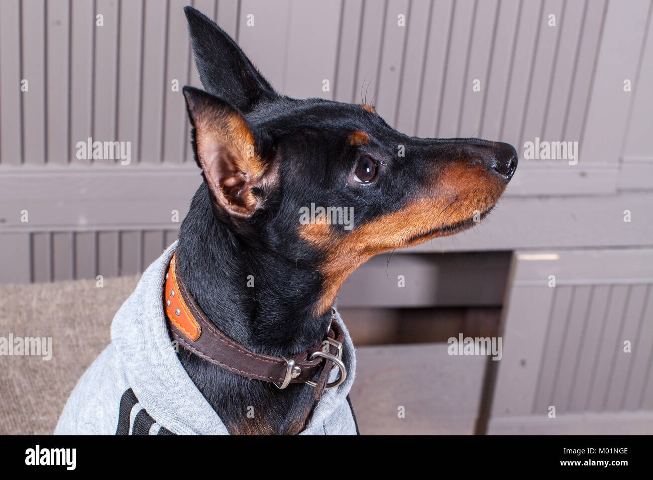 Doberman Pinscher A Small Black Brown Dog On The Table Puppy In
