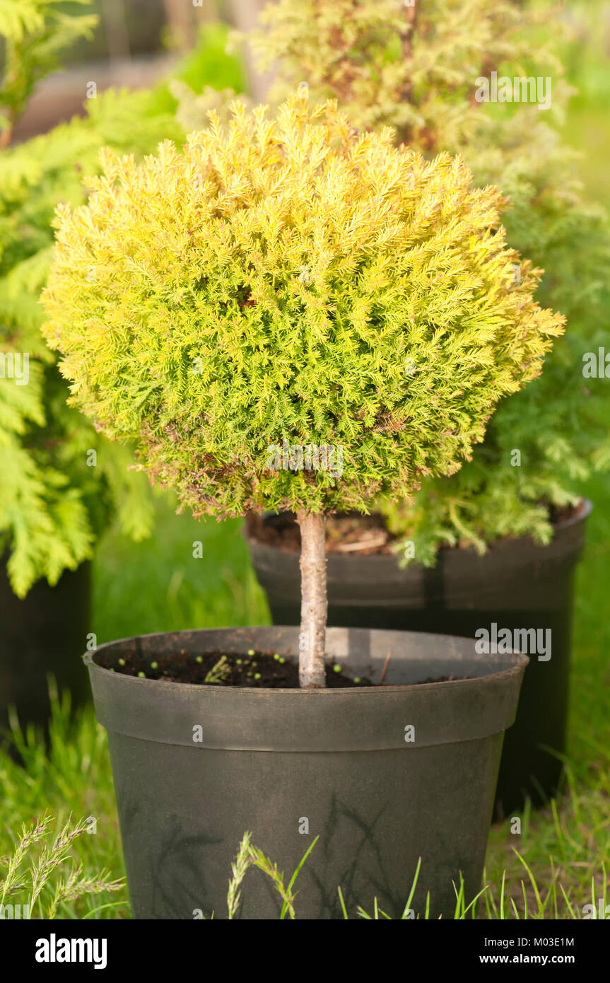 Small trees in pots stock photos small trees in pots for Pruning olive trees in pots