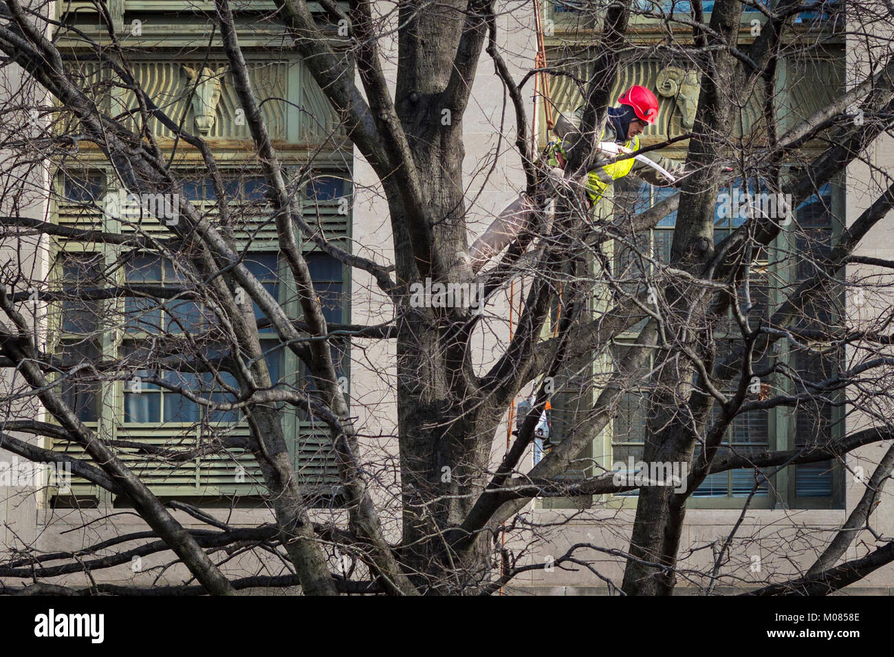 Contractors from Green Tree Landscaping trim the trees outside the U.S.  Department of Agriculture (USDA) South Building as part of a Departmental  Management ... - Contractors From Green Tree Landscaping Trim The Trees Outside The