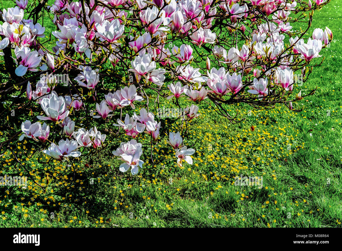 Springtime With Magnolia Tree In Full Bloom And Meadow Stock Photo