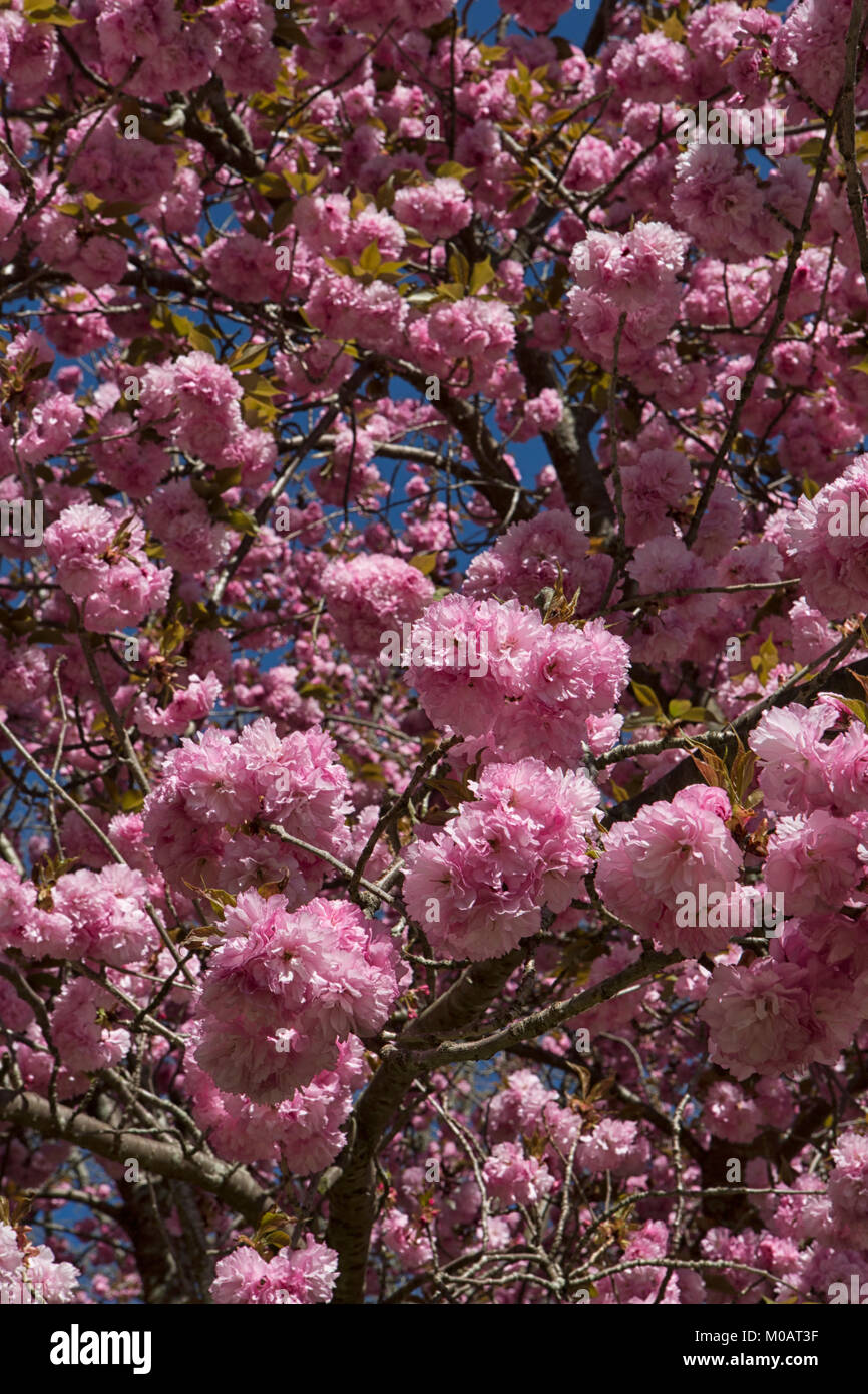 Cherry Tree Flowers Close Up Beautiful Pink Double Blooms Blue Sky