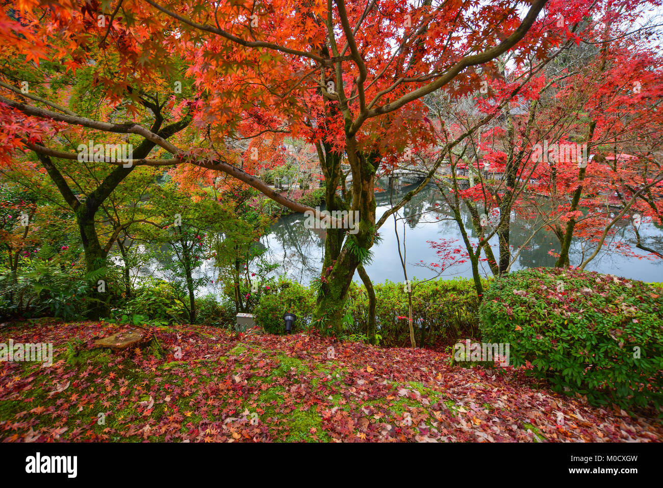 Maple trees with the lake at autumn garden in Kyoto, Japan Stock ...