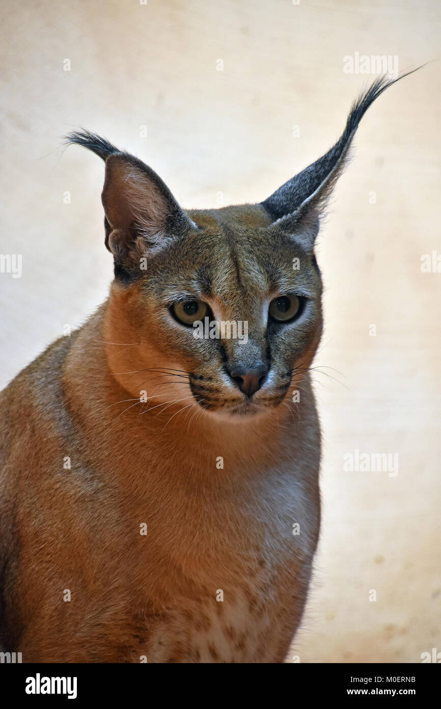 African Cat With Tufted Ears