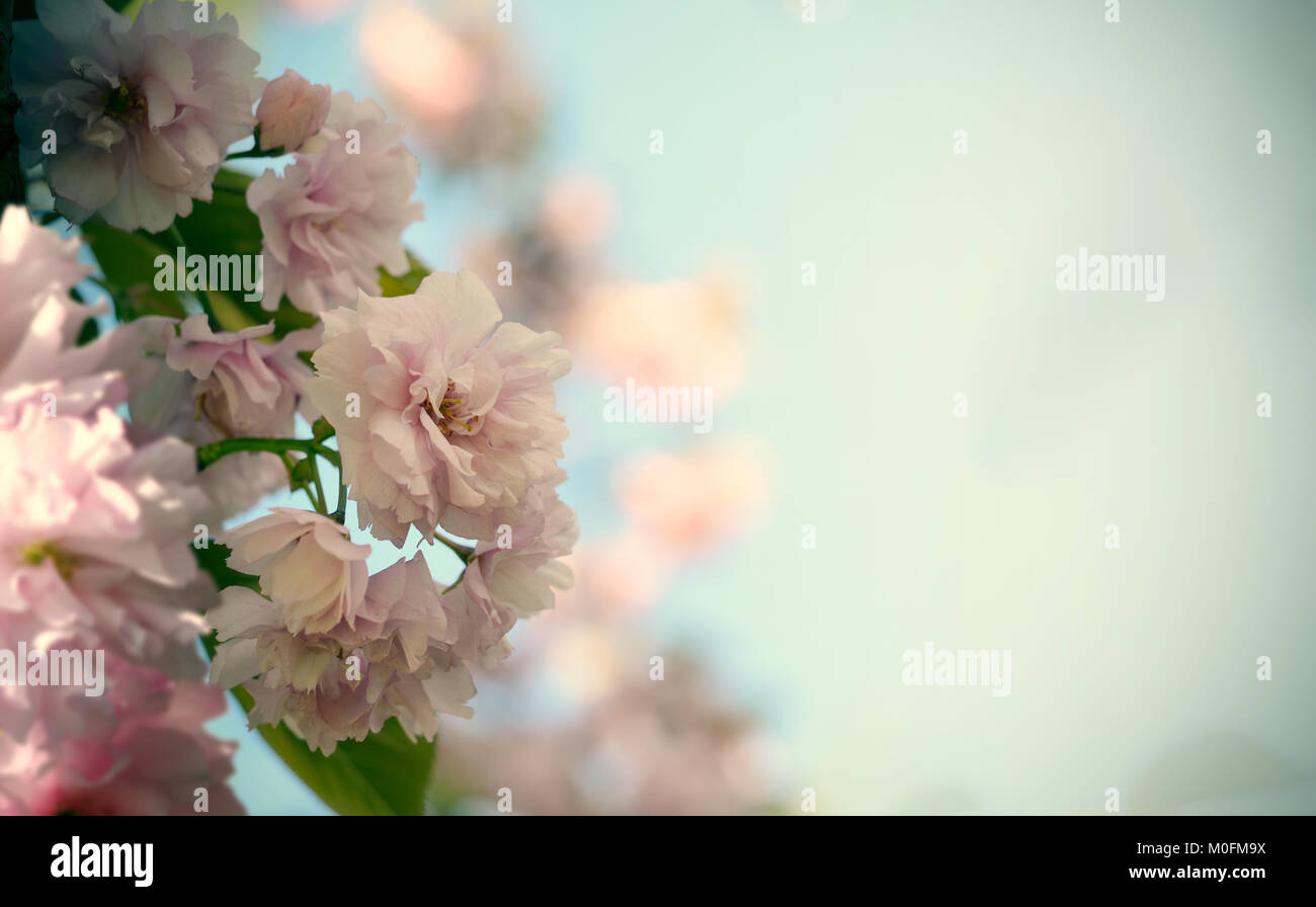 Romantic Wedding Or Gift Card Background With Sakura Blossoms In A
