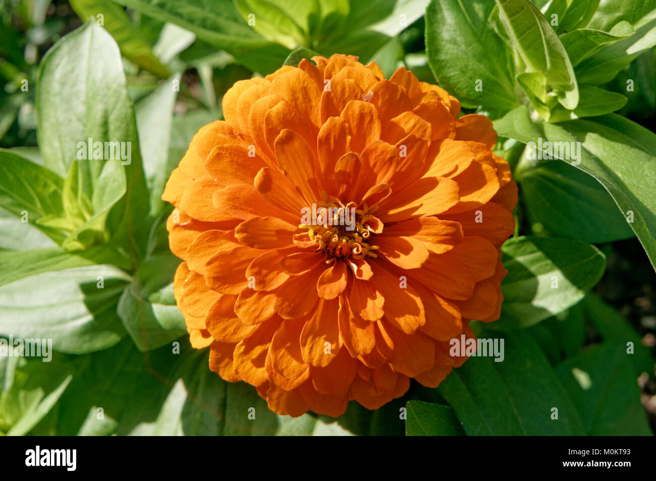 close-up-of-a-bright-orange-flower-in-su